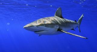 Huge increase in shark attacks on North Carolina coast -- but why?