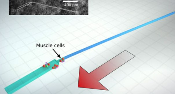 These tiny self-propelled bio-bots swim like sperm [VIDEO]