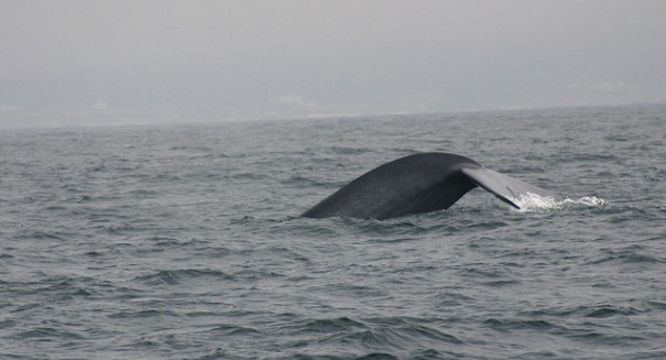 Military sonar can alter blue whale behavior, study finds