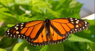 Santa Cruz celebrates monarch return