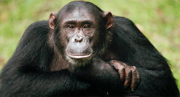 Male aggression in chimpanzees leads to more mating success