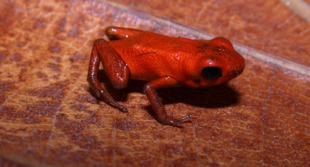 New species of poison dart frog discovered in Panama