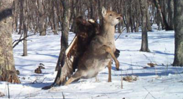 Rare images show golden eagle attacking deer in the Russian Far East