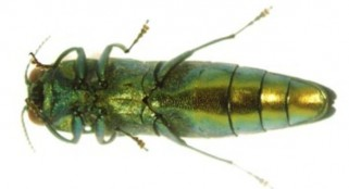 Emerald ash borer beetle may threaten different tree species
