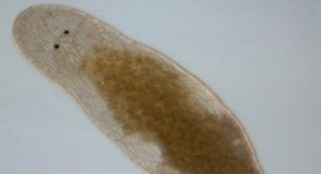 Bizarre flatworm injects sperm into its own head