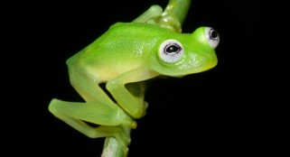 Scientists discover frog that looks like Kermit deep in Costa Rican jungle