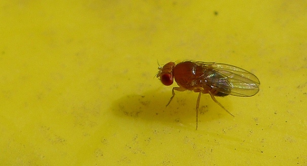 Sex-starved fruit flies have shorter lives, study finds
