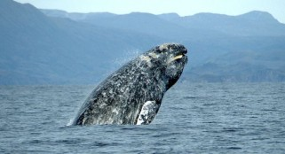 The gray whale begins annual migration