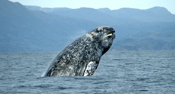 Giant' sea creatures aren't as big as we think, study finds