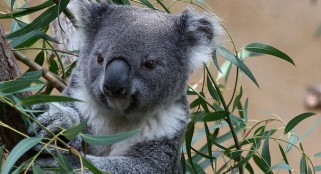 Researchers discover secret behind koalas' low-pitched voice