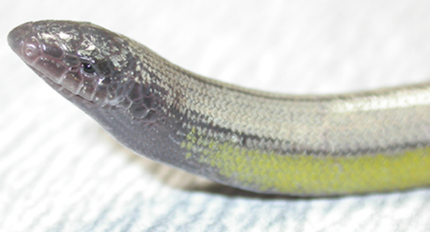 Four new species of legless lizards discovered in California