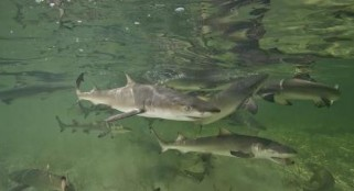 Lemon sharks return home to give birth; behavior confirmed for first time in sharks