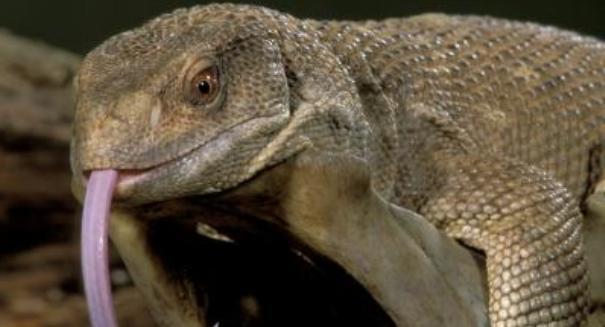 Cat-eating monitor lizards terrorize Florida
