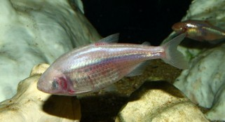 Mexican cavefish saves energy by shedding circadian rhythm