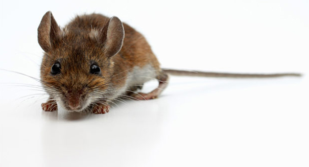 Amazing wireless and implantable device stimulates nerves in mice