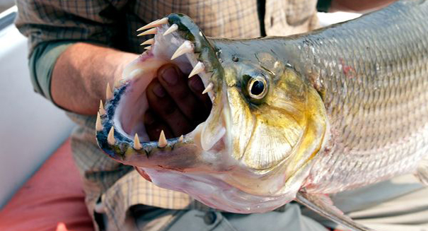 Bird-eating African tigerfish is a frighteningly real thing