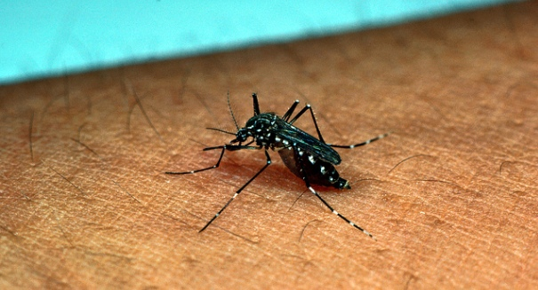 Yellow fever mosquito discovered in California