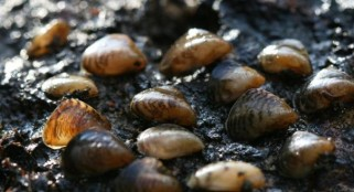 Invasive Quagga mussel found in UK, threatens both biodiversity and waterways