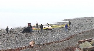 Pregnant female Puget Sound orca found dead