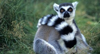 You were never a caveman: Ring-tailed lemurs only primates to consistently sleep in caves
