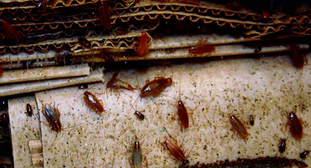 Cockroach infestation shutters California chicken plant
