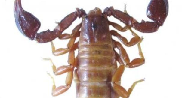 New scorpion species found in Turkey