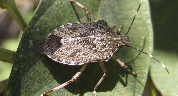 Harmful brown stink bugs appear in southern Michigan