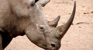 One male left in the entire northern white rhino population