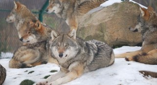 Endangered Mexican grey wolf's death investigated