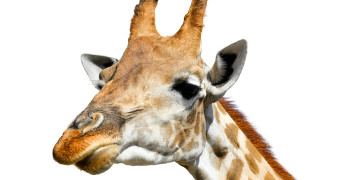 Cute giraffe isolated on white background. Funny giraffe head isolated. The giraffe is tallest and largest living animal in zoo. Beautiful Giraffa isolated on white. Funny giraffe's face isolated